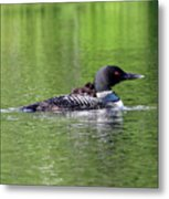 Loon With Chick On Back Metal Print