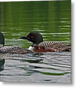 Loons With Chicks Metal Print