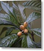 Loquat Fruit Metal Print