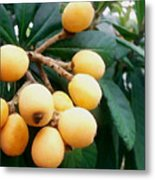 Loquats In The Tree 3 Metal Print