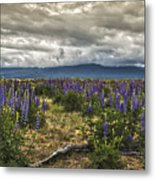 Lost In The Lupine Metal Print