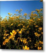 Lots Of Buttercups Against A Blue Sky Metal Print