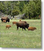 Lots Of Calves Metal Print