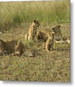 Lotsa Lions Metal Print