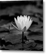 Lotus Blooms Metal Print