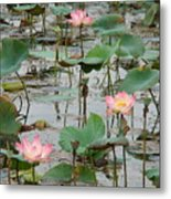 Lotus Pond-1 Metal Print