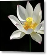 Lotus Reaching For The Sun Metal Print