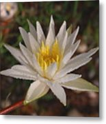 Lotus Uprising-  Debbie-may Metal Print