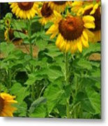 Louisa, Va. Sunflowers 3 Metal Print