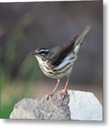 Louisiana Waterthrush Metal Print