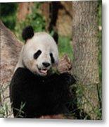 Lounging Giant Panda Bear With A Shoot Of Bamboo Metal Print