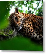 Lounging Leopard Metal Print