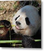 Lovable Giant Panda Bear With Big Paws Metal Print