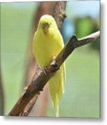 Lovable Yellow Budgie Parakeet Bird Up Close Metal Print