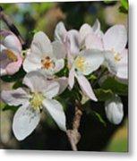 Lovely Apple Blossoms Metal Print