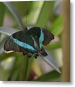 Lovely Blue And Black Emerald Swallowtail Buterfly Metal Print