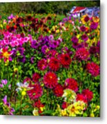 Lovely Dahlia Garden Metal Print