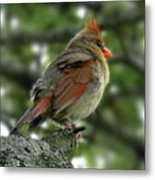 Lovely Female Cardinal Metal Print