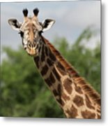 Lovely Giraffe In Tarangire - Square Format Metal Print