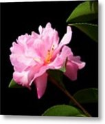 Lovely Pink Camelia Metal Print