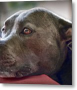 Loving Pitbull Eyes Metal Print