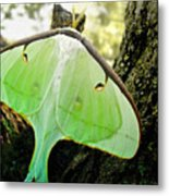 Luna Moth No. 3 Metal Print
