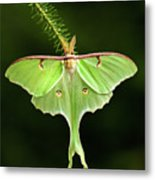 Luna Moth Spreading Its Wings. Metal Print