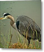 Lunch Time For The Heron Metal Print