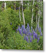 Lupine And Aspens Metal Print