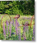Lupine Festival - Sugar Hill New Hampshire Usa Metal Print