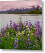 Lupine Of The Copper River Delta Metal Print