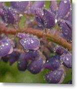 Lupine With Raindrops Metal Print