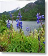 Lupines And Water Metal Print