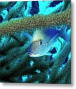 Lutjan Seaperch Hiding In Soft Coral Metal Print by Sami Sarkis