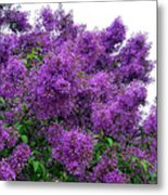 Luxurious Lilacs Metal Print