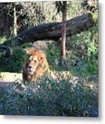 Lying Lion Metal Print
