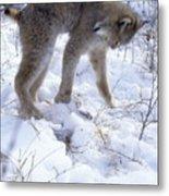 Lynx Captures Hare Metal Print