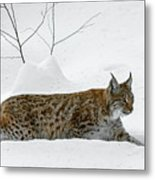 Lynx Hunting In The Snow Metal Print