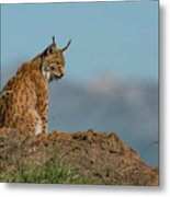 Lynx In Profile On Rock Looking Down Metal Print