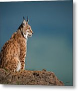 Lynx In Profile On Rock Looking Up Metal Print