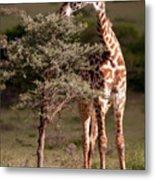 Maasai Giraffe - Giraffe Maasai Metal Print