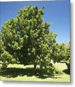 Macadamia Nut Tree Metal Print by Kicka Witte - Printscapes