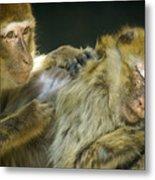 Macaques Jerez De La Frontera Spain Metal Print