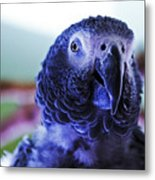 Macaw Parrot Blue Looking At You Metal Print