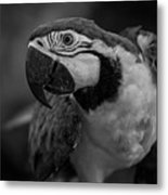Macaw Portrait In Black And White Metal Print