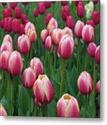 Mackinac Island Tulips 10681 Metal Print