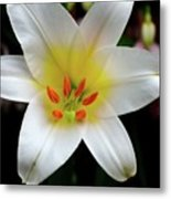 Macro Close Up Of White Lily Flower In Full Blossom Metal Print