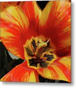 Macro Of A Blooming Striped Yellow And Red Tulip Metal Print