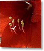 Macro Of Red Amaryllis Flower Metal Print