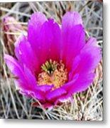 Magenta Cactus Flower Metal Print